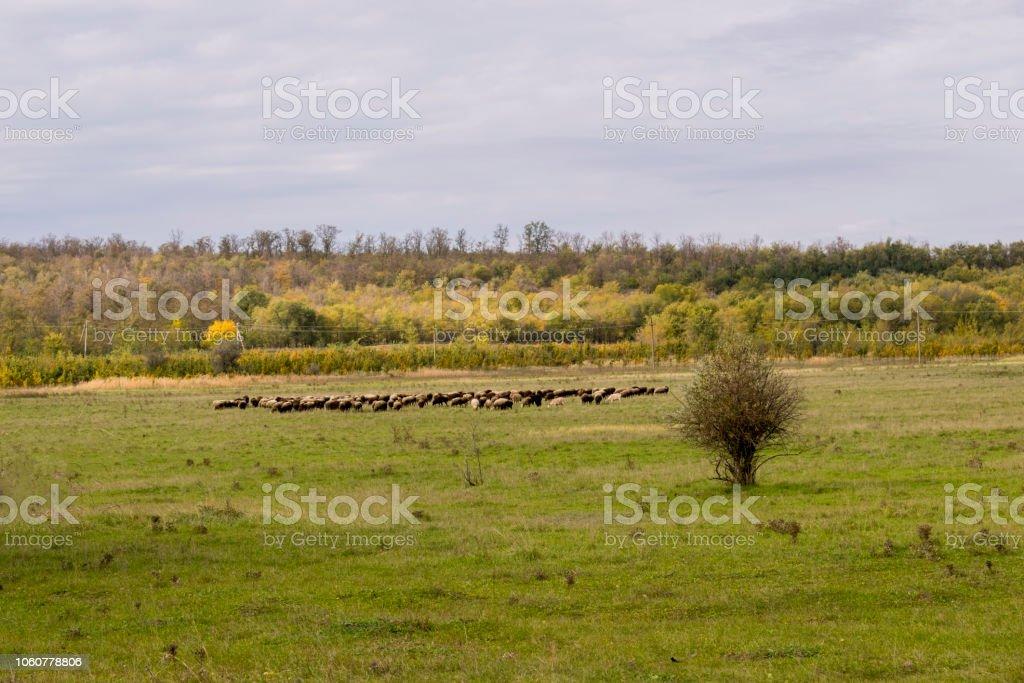 Um rebanho de ovelhas em um prado bela montanha. - foto de acervo
