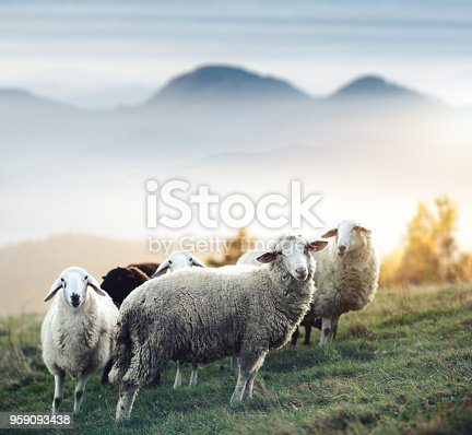 Flock of sheep on a mountain pasture. Animals in natural environment.