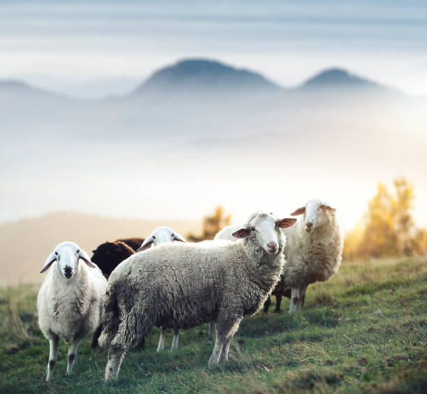 Flock Of Sheep On A Pasture Flock of sheep on a mountain pasture. Animals in natural environment. flock of sheep stock pictures, royalty-free photos & images