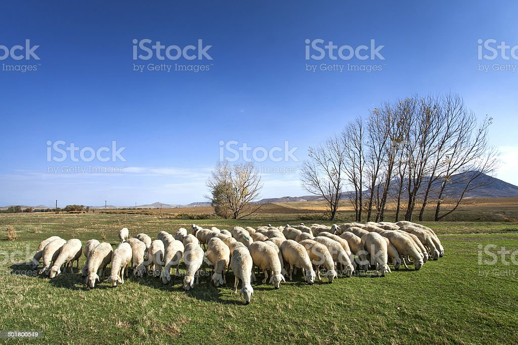 Flock of sheep on field stock photo