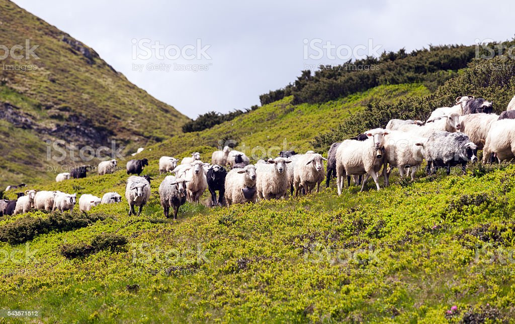 flock of sheep on green grass. - Photo