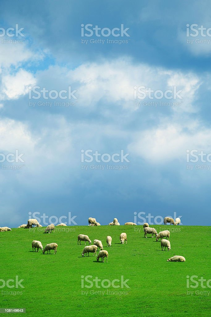 Flock of Sheep on Green Pasture with Blue Cloudy Sky royalty-free stock photo