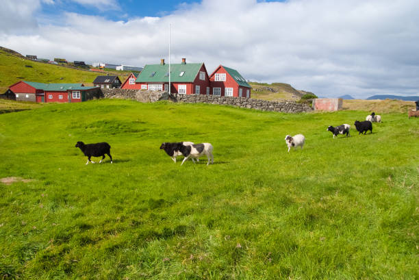 Flock of sheep on pasture in Torshavn, Denmark. Domestic sheep on green grass in village. Beautiful landscape view. Animal life on farm. Livestock. Summer vacation on farm stock photo