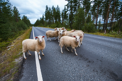 Flock of sheep on road in mountains of Scandinavia