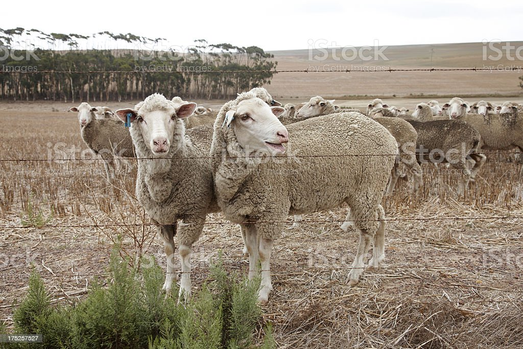 Flock of sheep on South Africa plain royalty-free stock photo