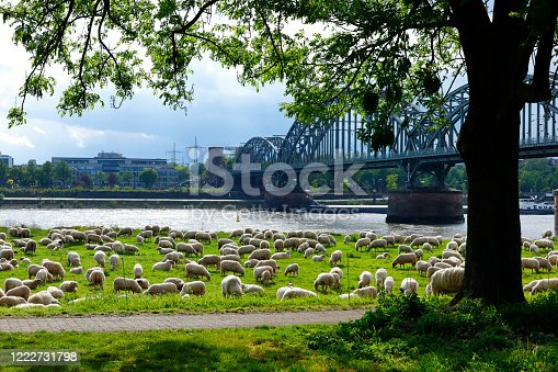 istock A flock of sheep on the banks of the Rhine, Cologne 1222731798