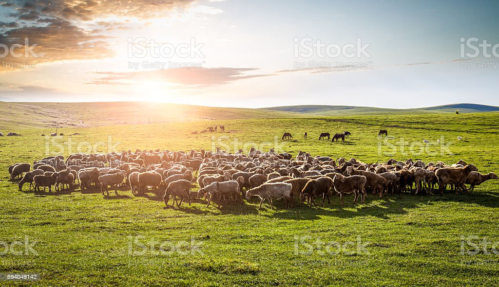 flock of sheep on the grassland. stock photo