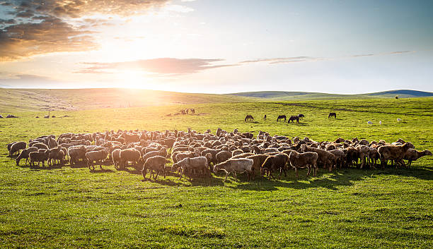 flock of sheep on the grassland. A flock of sheep on the grassland. mongolian culture stock pictures, royalty-free photos & images