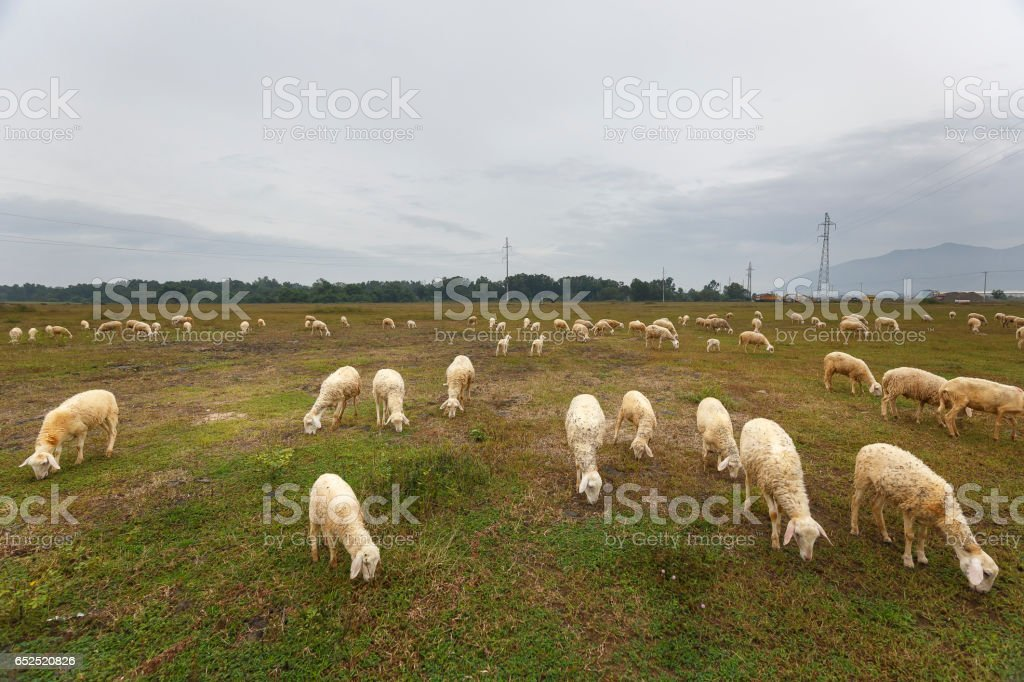 A flock of sheep on the meadow stock photo