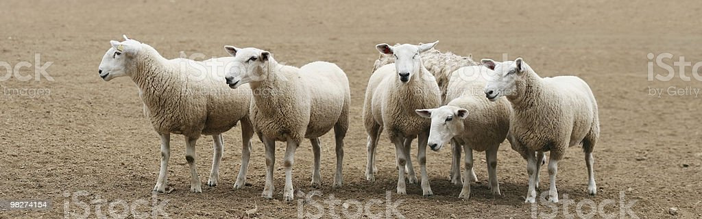 Flock of Sheep Panorama royalty-free stock photo