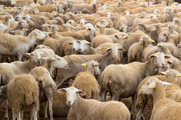 flock of sheep flock of sheep, animals farm, domestic animals flock of sheep stock pictures, royalty-free photos & images