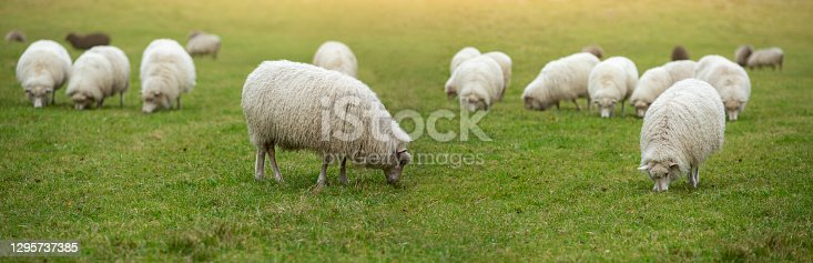istock A flock of sheep 1295737385