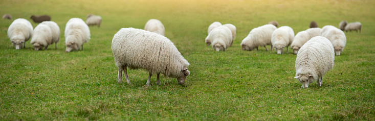 A flock of sheep grazing on the field