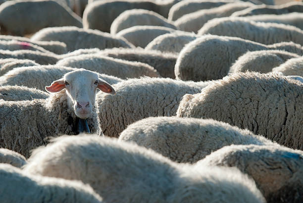 Flock of sheep. Sheep grazing in the field in a sunny day. flock of sheep stock pictures, royalty-free photos & images