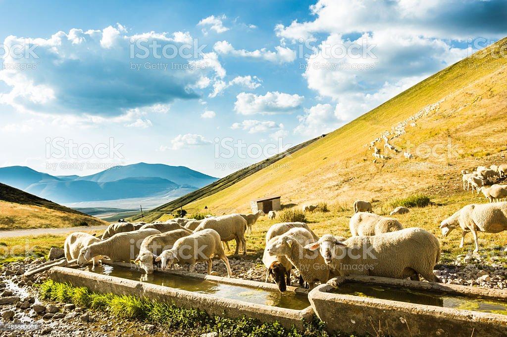 Stado owiec – zdjęcie