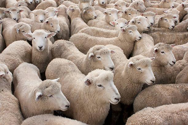 Gregge di pecore - foto stock