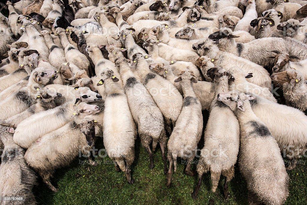 Flock of sheep. stock photo