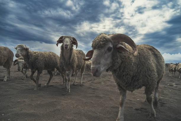 koyun sürüsü - byakkaya stok fotoğraflar ve resimler