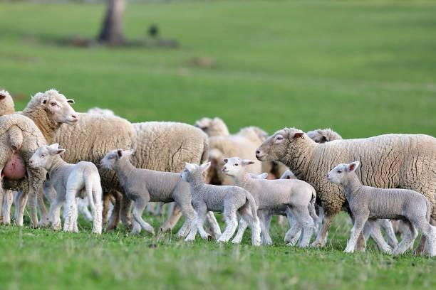 Flock of sheep 21 September 2017, Tasmania, Australia. Picture of a flock of sheep was shot at Tasmania. flock of sheep stock pictures, royalty-free photos & images