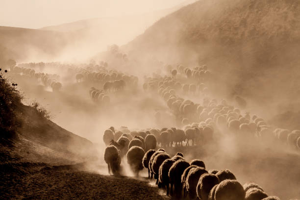 A flock of sheep A flock of sheep flock of sheep stock pictures, royalty-free photos & images