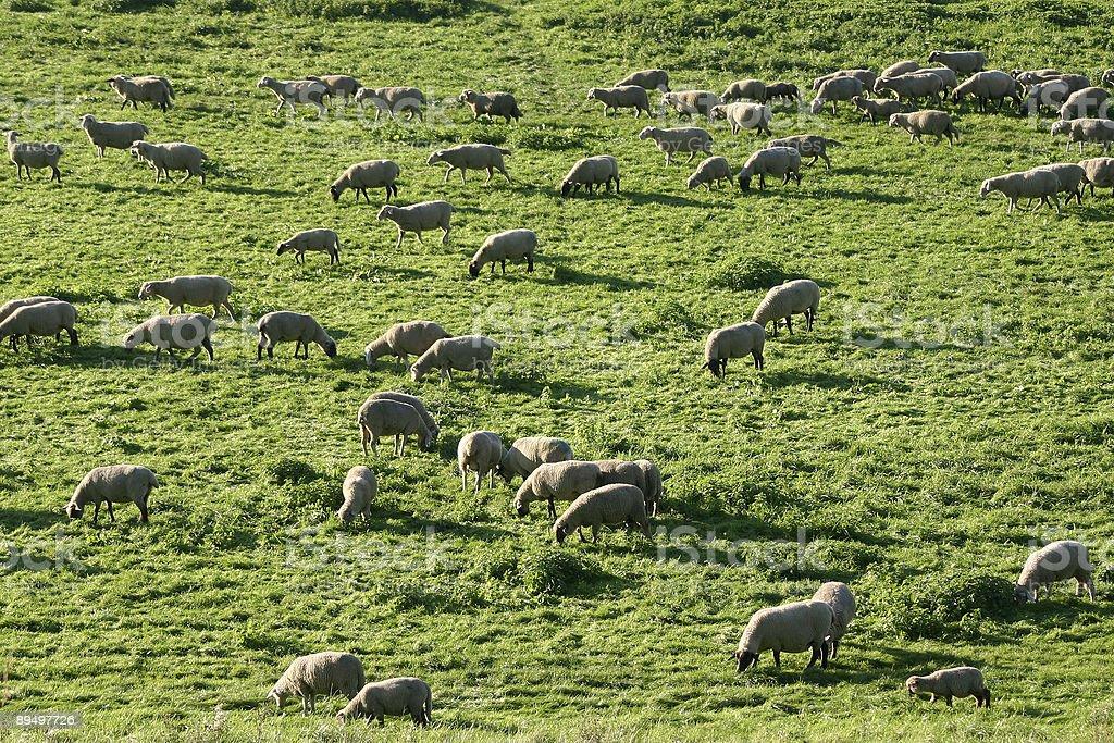 flock of sheep royaltyfri bildbanksbilder