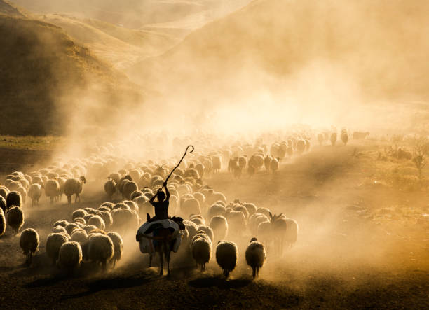 A flock of sheep A flock of sheep herding stock pictures, royalty-free photos & images