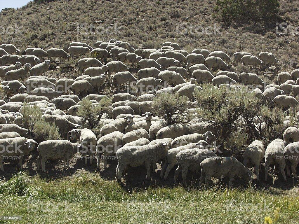 Flock of sheep Lizenzfreies stock-foto