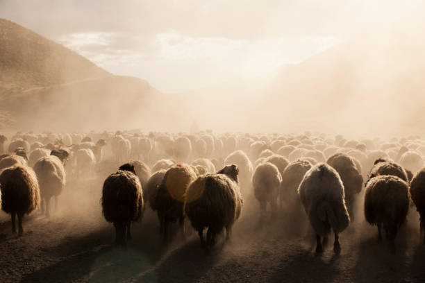 A flock of sheep - foto stock