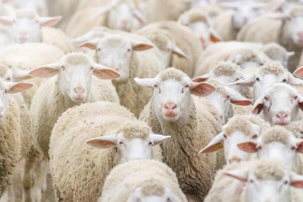 Flock of sheep, sheep farm stock photo