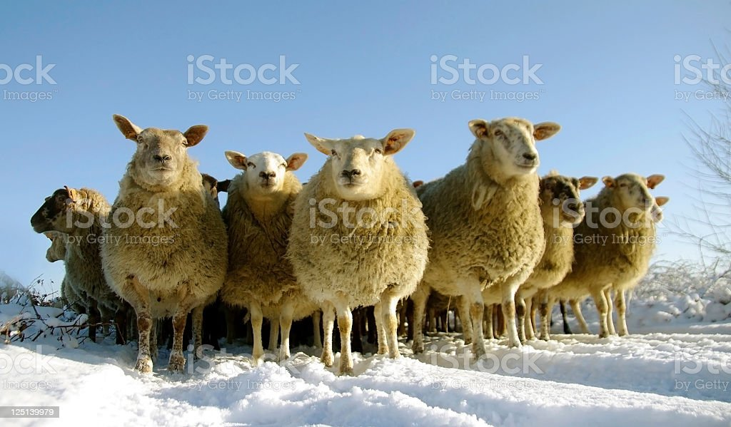 A flock of sheep standing on a snowy ground royalty-free stock photo
