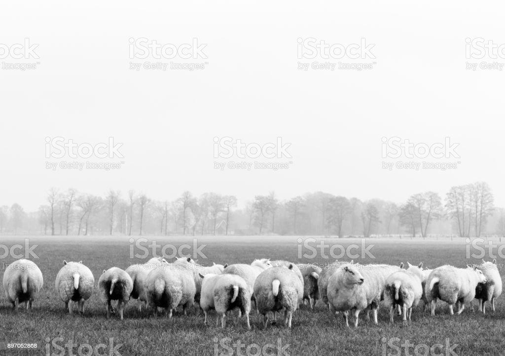 Schafherde, die bis auf einen, alle stehen vor der Kamera mit ihrer Rückseite. – Foto