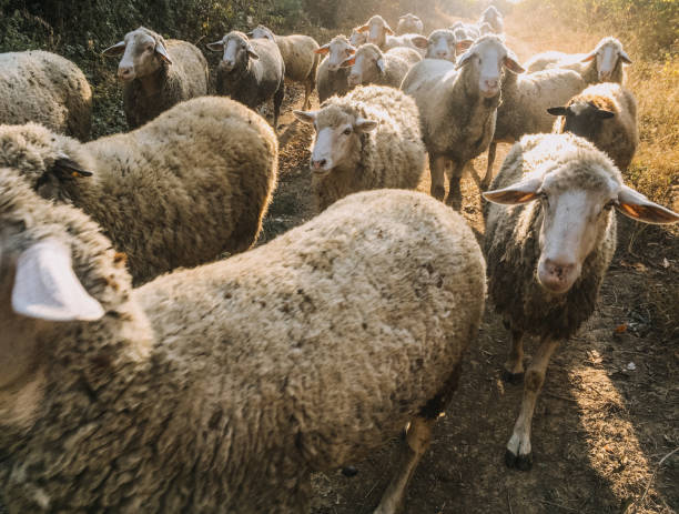 Flock of sheep walking stock photo
