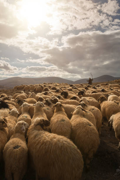 Flock of Sheep with Shepherd Flock of sheeps herds going down Imecik valley. flock of sheep stock pictures, royalty-free photos & images