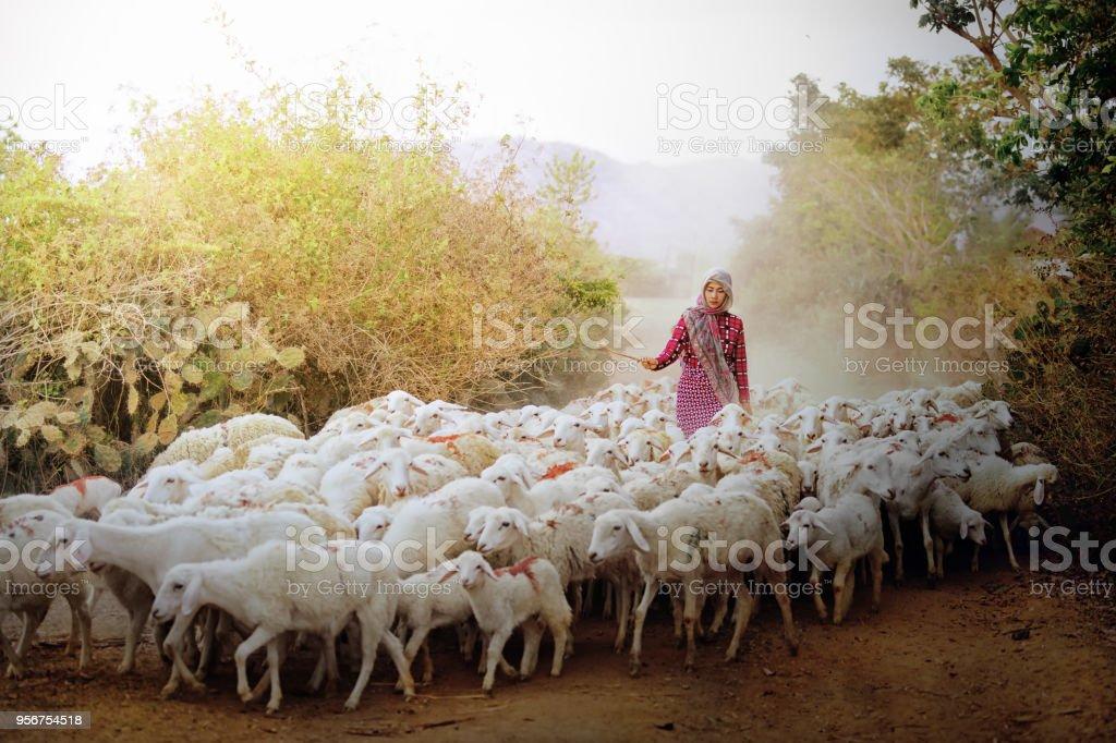 Flock of sheep with shepherd woman. stock photo