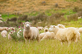 Flock of sheeps grazing in green farm in New Zealand with warm sunlight effect