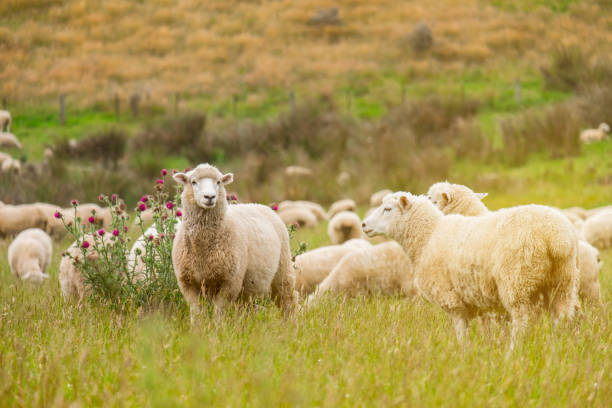 Flock of sheeps grazing in green farm in New Zealand with warm sunlight effect stock photo