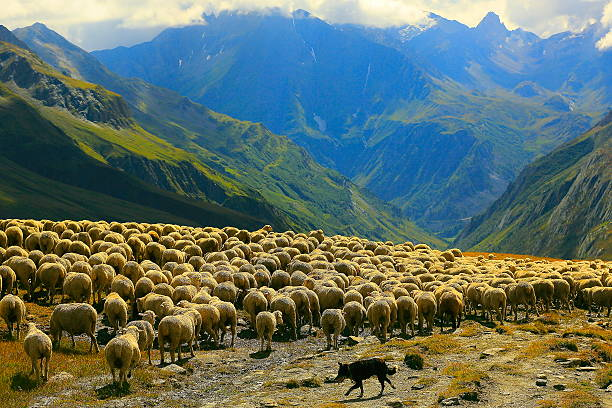 Flock of sheeps herds going down Aosta valley, Mont Blanc You can see my CHAMONIX & MONT BLANC MASSIF photo collection (Chamonix, Mont Blanc Peak, Mont Blanc Massif, Cities, mountains, meadows, sunsets, sunrises, and much more!!!! ) here!! flock of sheep stock pictures, royalty-free photos & images