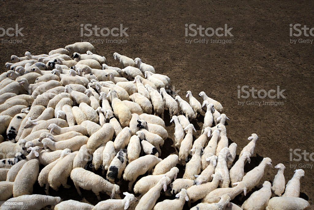 Flock of sheeps on field stock photo
