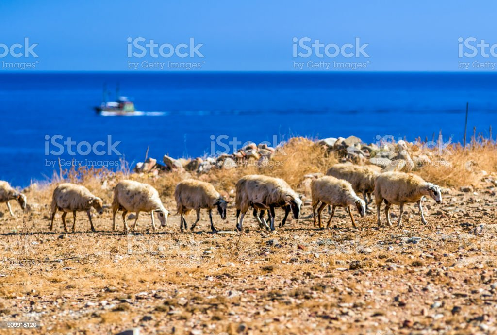 Flock of sheeps on pasture stock photo