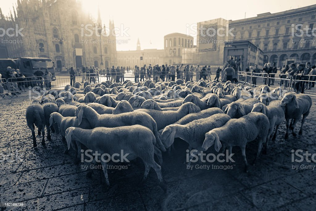 Flock Of Sheeps Walking In Piazza Duomo royalty-free stock photo