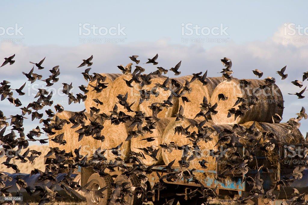 Flock of small birds royalty-free stock photo