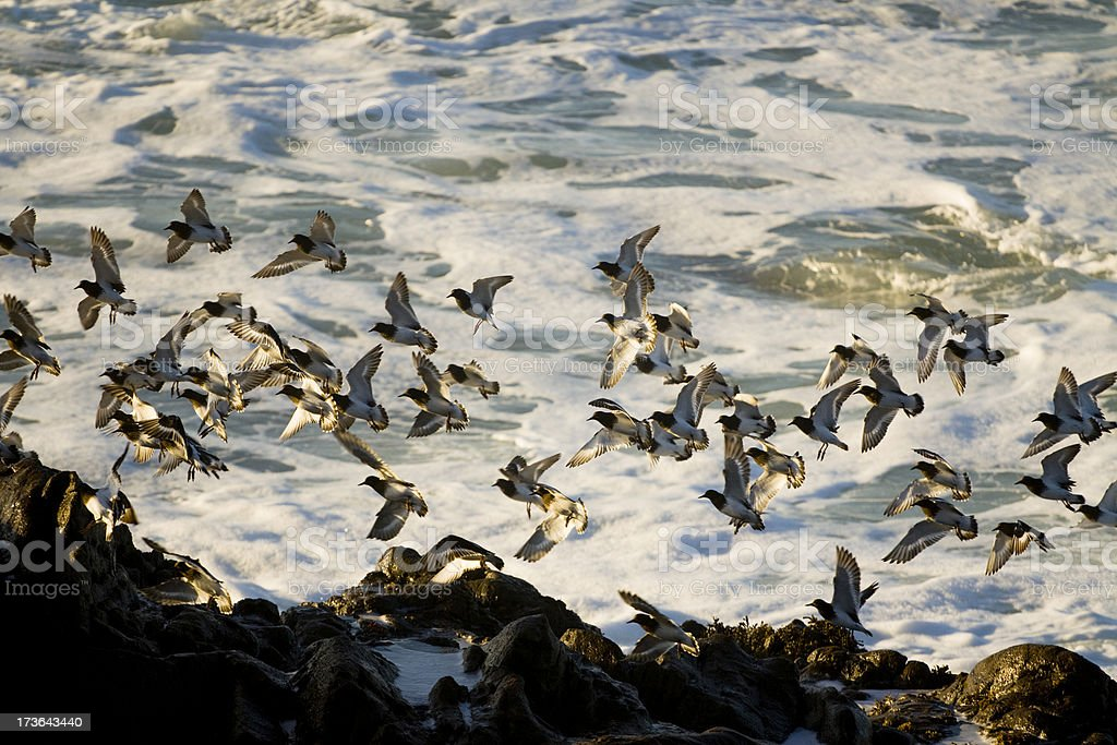 Flock of small birds with ocean. stock photo