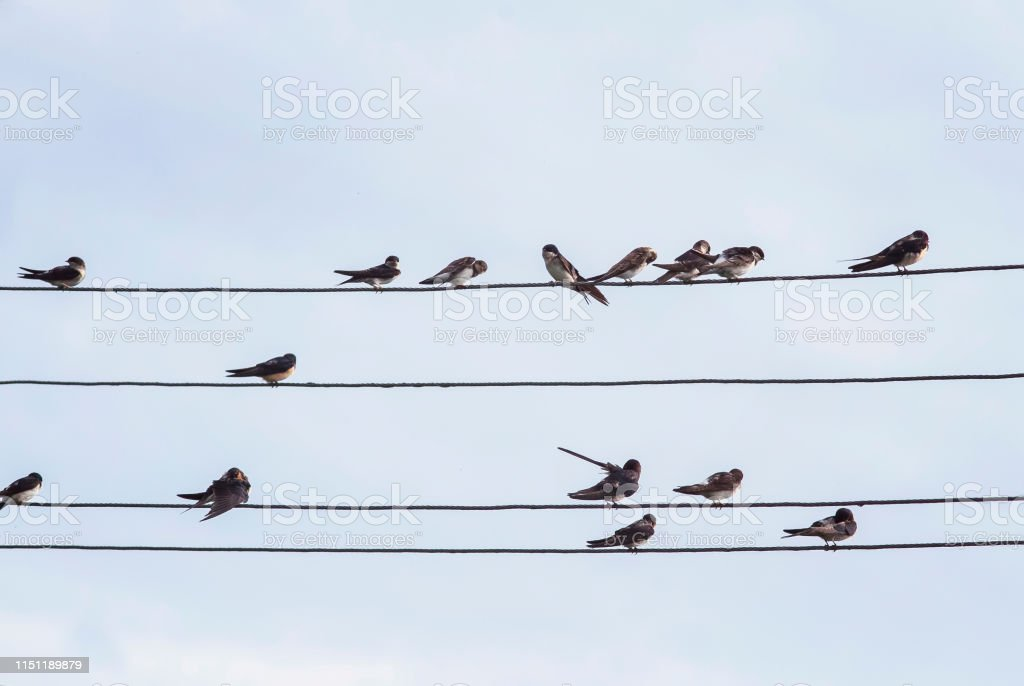 flock of small black birds village swallows sitting on the wires...