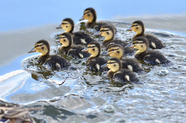 Flock of small duck babies floating on the pond stock photo