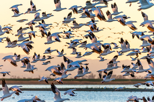 Flock of Snow Geese Flying at Sunset, California, USA