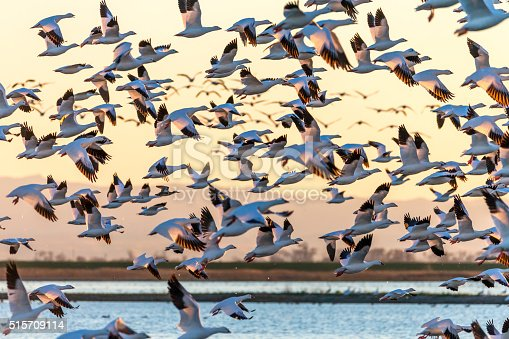Flock of Snow Geese flying at sunset.  600mm lens. Canon 1Dx.