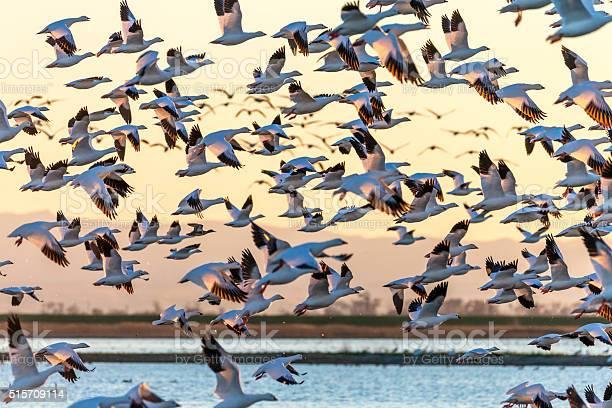 Flock of snow geese flying at sunset california usa picture id515709114?b=1&k=6&m=515709114&s=612x612&h=ljpu1zprjdrtwk18dckkbpjm zwggx  yjpa5 ey9bu=