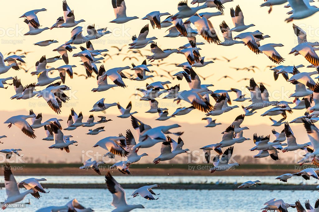 Flock of Snow Geese Flying at Sunset, California, USA stock photo