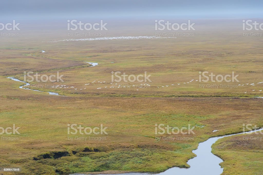 Flock of Snow Geese Flying in ANWR Over River stock photo