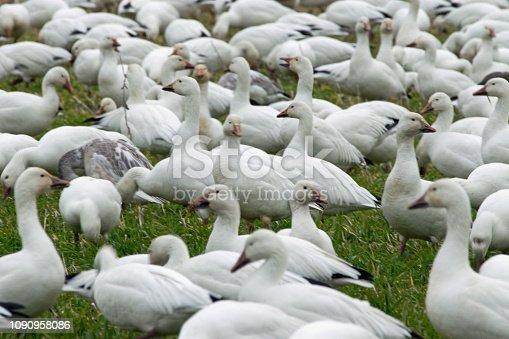Flock of snow geese in field